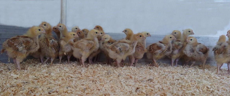 pollastres
