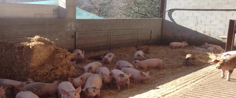 porcs amb palla