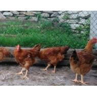 Pollastre de pagès de 2.5 a 3 kg  A OCTAUS