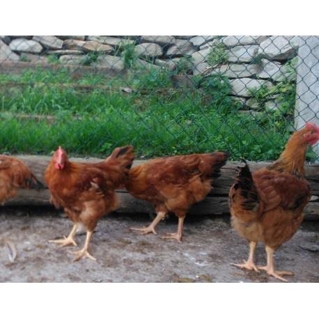 Pollastre de pagès de: 2 kg  a 2.5 kg